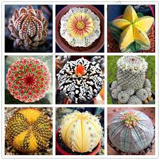 2019 200 rare mix lithops seeds living stones succulent cactus organic garden bulk seed bonsai seeds for indoor succulent plants from cstllmyyxgs