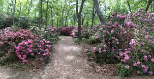 rhododendron festival 2016 at heritage museums gardens in sandwich ma