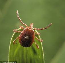 Tiny 'lone star tick' blamed for causing MEAT ALLERGY in hundreds of ...