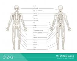 Human Bone Chart Skeletal System Definition Function And Parts Biology