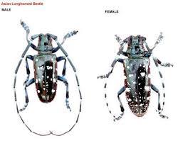 Asian Longhorned Beetle Southeastern Wisconsin Invasive Species