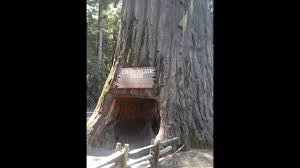 california redwoods drive thru chandelier tree 5