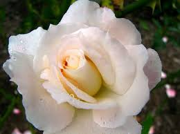 10 Intensely Fragrant Roses To Plant In Your Garden  The Fragrant Rose Plants