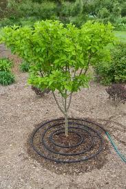 How To Plant A Tree Or Shrub Tree Planting Bushes