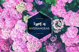hydrangeas are a classic flower that are a favorite amongst florists and gardeners their large round flower heads are what distinguish them from other