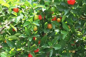 Jamaican Fruits  PhotographsJamaican Fruit Trees