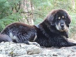 Growth Tibetan Mastiff Puppy Weight Chart Tibetan Mastiff