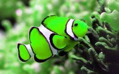different colored clown fish. Simple Clown Clown Fish Different Colors To Different Colored Fish N