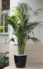 indoor large plant pots a premium plant palm is an elegant plant that eagerly thrives indoors