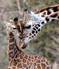 Image of: Tiger Eliska And Janica Plymouth Herald Heartbreak As Zoo Puts Down Baby Giraffe Plymouth Live