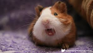 Image result for guinea pig