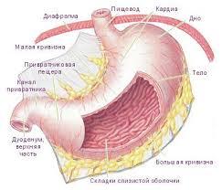 Желудок человека анатомия строение и функции Анатомия желудка человека строение и функции