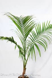 Majestic Palms 20cm