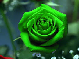 green rose wallpapers hd pictures