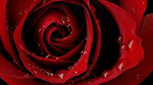 58 Red rose - desktop wallpaper #13620 ...