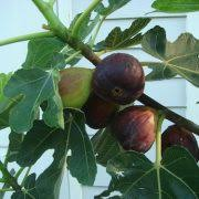 Multigrafted Fruits Are A Practical Solution  Houston ChronicleTriple Grafted Fruit Trees