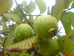 guava picture के लिए इमेज परिणाम