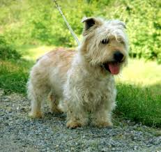 white dog breed selector