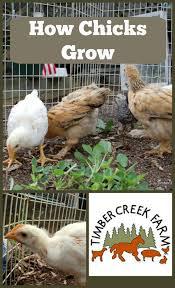 Growth Of A Chicken Chart Baby Chicken Growth Chart Www Bedowntowndaytona Com