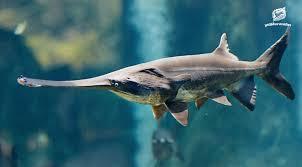 อวสาน ฉลามปากเป็ดจีน  อีกหนึ่งผลกระทบจากประมงเกินพิกัดและการสร้างเขื่อนใหญ่คร่อมแม่น้ำ -  มูลนิธิสืบนาคะเสถียร