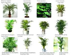 palm great indoor house plant that purifies the air home additional common house plants given at