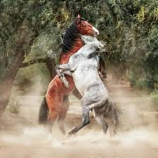 wild paint horses rearing. Contemporary Horses Horse Poster Featuring The Photograph Wild Horses Rearing Up Play Fighting  By Susan Schmitz Intended Paint I