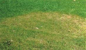 Brown Patch Disease Brown Patch Disease Of Lawns Introduction Urban Program Bexar County