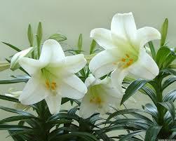 ผลการค้นหารูปภาพสำหรับ lily white