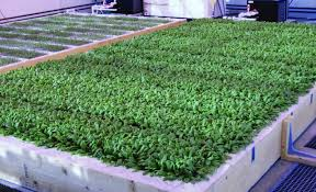 figure 6 baby leaf spinach production in sdling trays on a small deep water culture