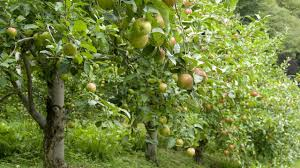 green apple fruit tree. how to grow apple trees - complete growing guide green fruit tree