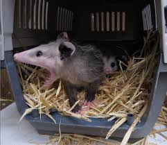 Rescued Baby Opossums Wildcare