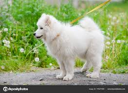 Happy Samoyed Dog White And Fluffy Out For A Walk Stock Photo