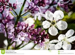 beautiful purple and white flowers. Beautiful Purple Beautiful Purple And White Flowers On Spring Time In Purple And White Flowers Dreamstimecom