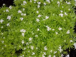 naturalizes spreads quickly from season to season 12 20 w 6 12 h deer resistant plant white flowers are in bloom now wonderful groundcover for an