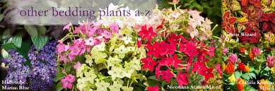 a to z list of spring and summer bedding plug plants which do not fit into any of our other categories