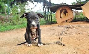 mean pitbull dogs fighting. Brilliant Mean Dogfighting Explained U2013 In Pictures And Mean Pitbull Dogs Fighting O