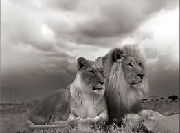 lioness black and white. Exellent Lioness Image Is Loading LIONLIONESSBLACKANDWHITEANIMALSLOVECANVAS With Lioness Black And White C