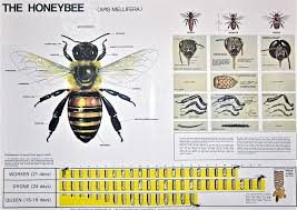 Honey Bee Life Cycle Chart Apiculture Pinterest Honey