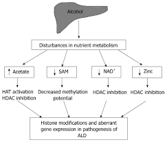 Alcohol Metabolism Chart Histone Modifications And Alcohol Induced Liver Disease Are