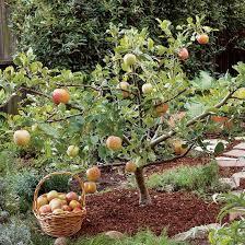 Phyllanthus Acidus Phyllanthus Distichus Otaheite Gooseberry Full Size Fruit Trees For Sale
