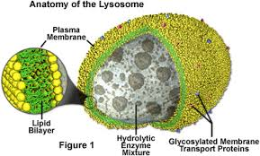animal cell lysosome. Delighful Cell Lysosomes For Animal Cell Lysosome O