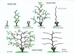 Winter Pruning Of Vines From Infancy To The Fourth Year