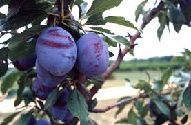 Xtremehorticulture Of The Desert Make Jelly From The Fruit Of Purple Plum Tree Fruit