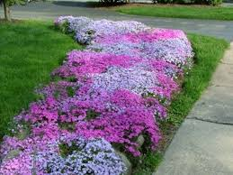 Image result for spreading phlox