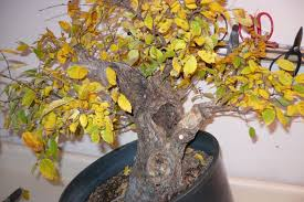 2 get to know the type of tree or species of tree you are trying to grow bonsai leaves turning yellow