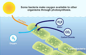 Image result for photosynthesis cyanobacteria