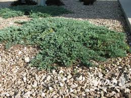 icee blue juniper. icee blue juniper juniperus horizontalis \u0027monber\u0027 pp9639 l
