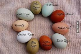 Egg Color Chart Image Result For Egg Color Chart For Chickens Chicken Egg
