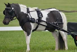 fitting tips pleasure harness chimacum tack horse harness image at Horse Harness