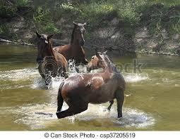 wild horses galloping. Contemporary Wild Wild Horses Galloping In Water  Csp37205519 On Wild Horses Galloping